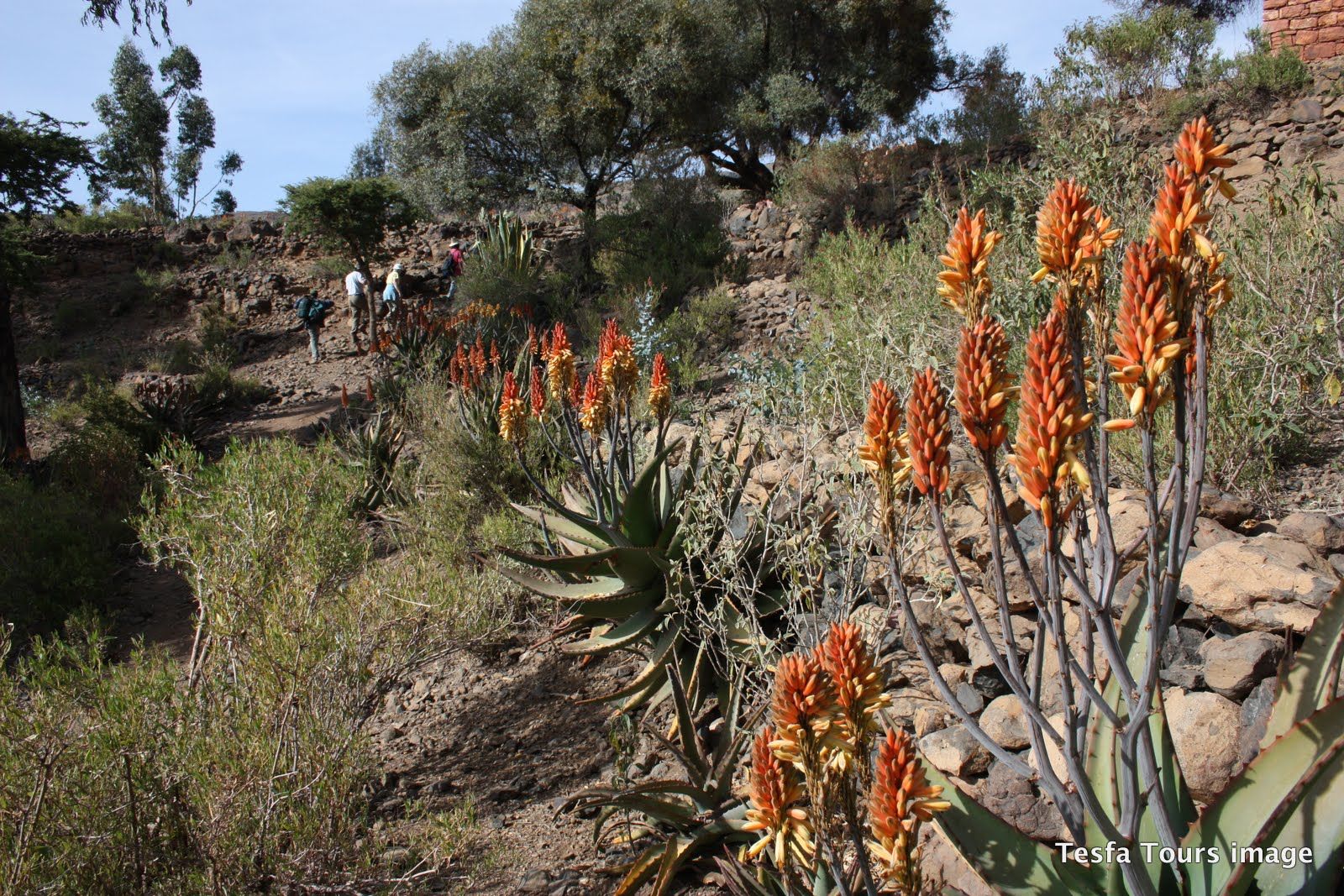 Flowering Aloe on Tigray trek