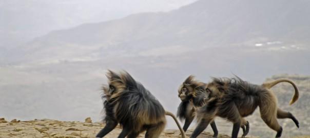 Male Gelada baboons running by the escarpment in Meket