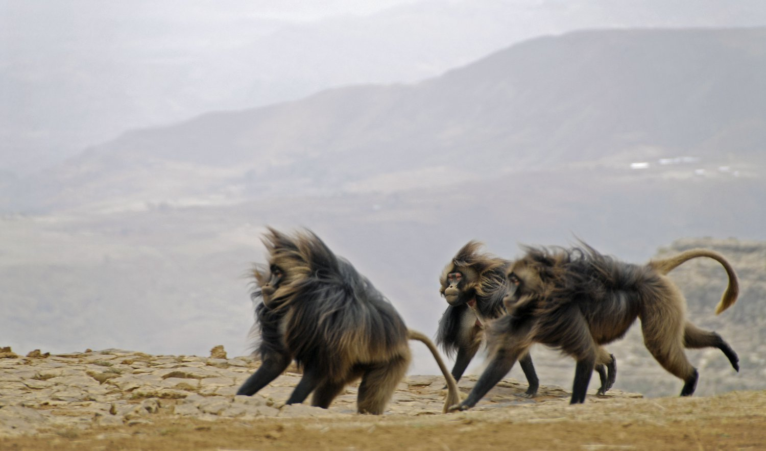 Male Gelada baboons running by the escarpment in Meket
