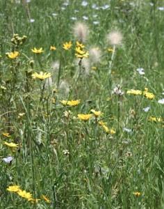 The Meskal daisy, Ethiopian flower for for Meskal and New Year