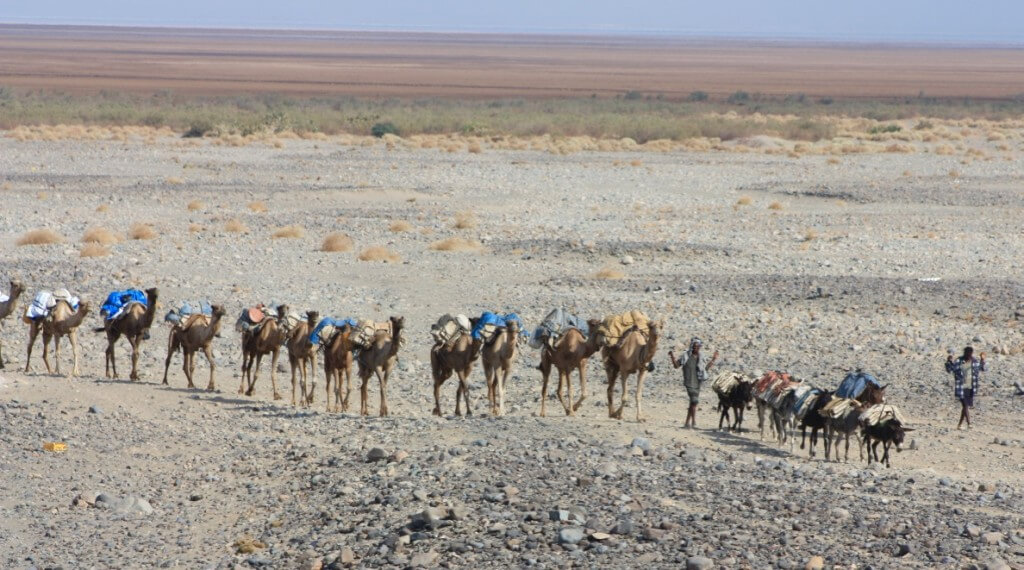 Caravans carry the salt from the Danakil