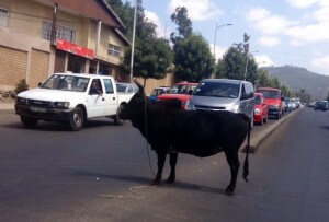 Ox stops the traffic