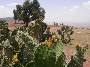 The Cactus in flower in the Agame mountains