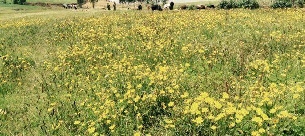 Meskal flowers in Meket, North Wollo