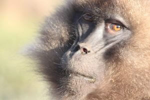 Gelada baboons, staring back at tourists