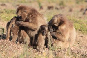 Gelada Family grooming in the Simiens