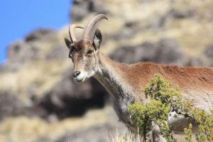 Walia Ibex looking down on passing tourists