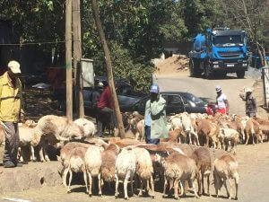 Sheep are bought into Addis for sale for holidays